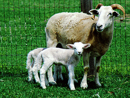 Wiltshire Horn with Lambs