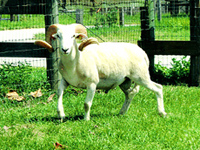 Wiltshire Horn Sheep for Sale at Fairmeadowsheepfarm.com.com    Breeding stock for your ranching needs