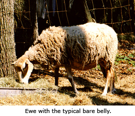 Florida Native - Ewe with a typical Bare Belly